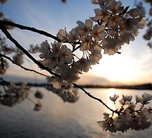 Cherry Blossoms on the Potomac  by Rae Breaux
