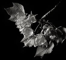 Dombeya in Black and White by Endre