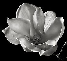 Chinese Magnolia in Black and White by Endre