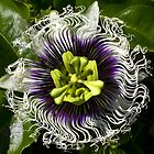 Passionfruit  flower by Doug Cliff