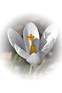 First Crocus of Spring 2011 by MarjorieB