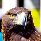 Golden Eagle at Krumbach by Daidalos