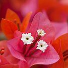 red bouganvillea by Hege Nolan