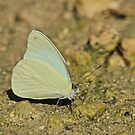 Sulphur Butterfly Species by Robert Abraham
