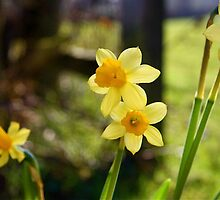 Mini Daffs by twinnieE