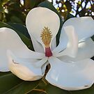 Magnificent Magnolia by dilouise