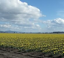 Daffodil Fields Panorama by MischaC