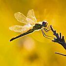 Yellow Striped Hunter Dragonfly by RatManDude