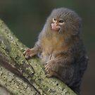 Pygmy marmoset by Lindie