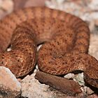 Acanthophis pyrrhus - Alice Springs, Northern Territory by tiliqua