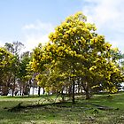 Wattle Trees at Bridgetown by Leonie Mac Lean