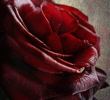 Blood Red Rose by Julesrules