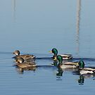 Mallards by Al Williscroft
