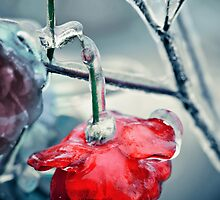 Broken iced rose by DanielVijoi