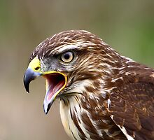 Buzzard by Ian Richardson