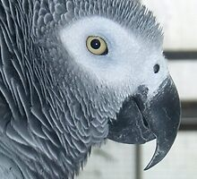 Elvis the African Grey Parrot by Michaela1991