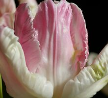 The Pink parrot Tulip by walstraasart