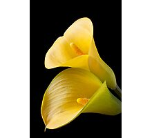 Pair of Yellow Calla Lilies  Photographic Print