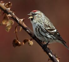 Pointed / Common Redpoll  by Gary Fairhead