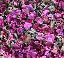 Spent Bougainvillea Petals by Denice Breaux