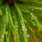 Dewy Pine by sprucedimages