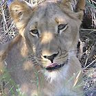 Lip smacking lioness  by Travis Graham