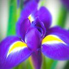 Iris by David Henderson