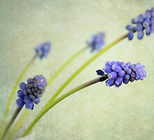 Hyacinth Grape by Lyn  Randle