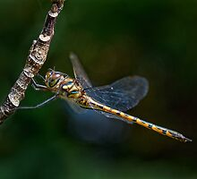 Dragonfly Salute....or maybe just an itchy eye! by Ian English
