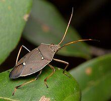 Two-spotted Gum Tree Shield Bug - Poecilometis parilis by Andrew Trevor-Jones