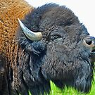 Bison Bull by Donna Ridgway
