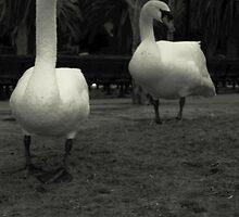 The Swan Couple by AngelaHRey