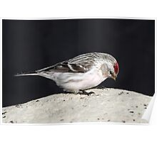 April Hoary / Uncommon Redpoll Poster
