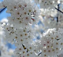Cherry Blossoms Fading Away by Cora Wandel
