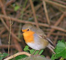 Robin Redbreast. by Livvy Young