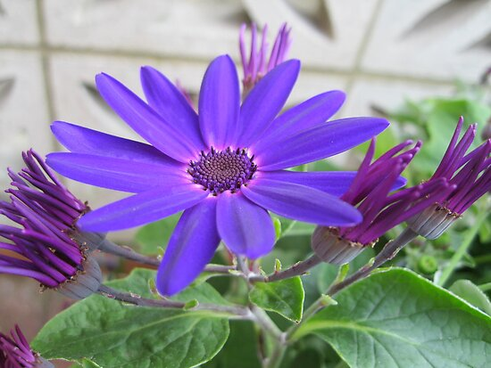 Purple Cineraria by BlueMoonRose