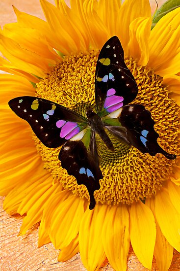 Purple Butterfly On Sunflower by Garry Gay