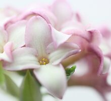 Sweet Smelling Daphne by Chrisdor