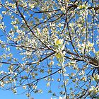 Dogwood Tree Beginning To Bloom by WeeZie