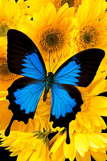 Blue Butterfly On Yellow Mums by Garry Gay