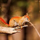 Red Tailed Squirrel - Ottawa, Ontario by Josef Pittner