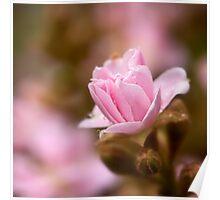 Pink hawthorn bud Poster