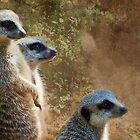 Meerkats by Eve Parry