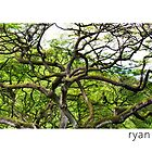 Waimea Tree, Oahu Hawaii by Ryan Epstein