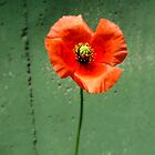 Poppy Days 1 by kibishipaul