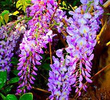 Wisteria Flower Blooms North Carolina USA By Jonathan Green by Jonathan  Green