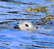British Grey Seal Farne Islands Northumberland by Roger Hall