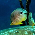Four-eye Butterflyfish by Robbie Labanowski