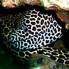Honeycomb Moray by Robbie Labanowski