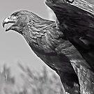 Falcon by heatherfriedman